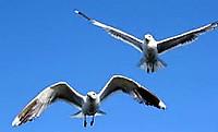 Seagull_2