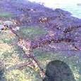 天然岩海苔?