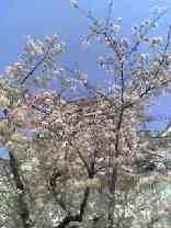 福山城の桜は満開です